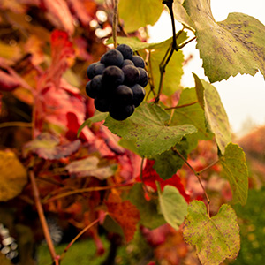 Grapes for the production of balsamic vinegar